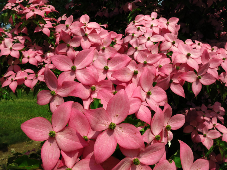 'Scarlet Fire' is a new kousa dogwood introduction bred by Thomas Molnar of Rutgers University.
