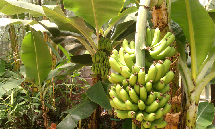The world's top banana, the Cavendish, is under threat from a seemingly unstoppable fungus that is wiping out crops in Africa, Asia, Australia and the Middle East. The fusarium fungus blackens the bananas and kills the plant.