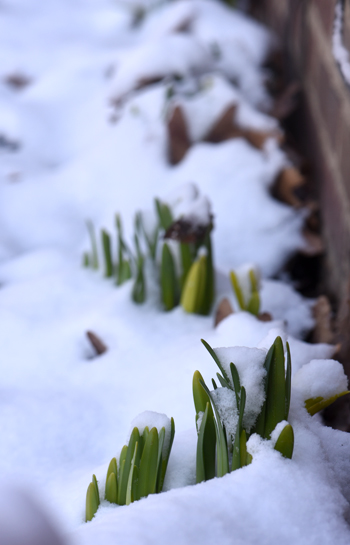 These daffodils are always the first to sprout. They grow in a little strip between a stone sidewalk and the front of the house. Photos by Doug Oster