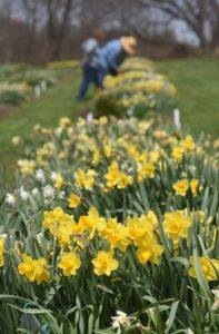 Joseph Hamm's Daffodil Hortus in Washington County is one of the greatest collections of daffodils in the state.