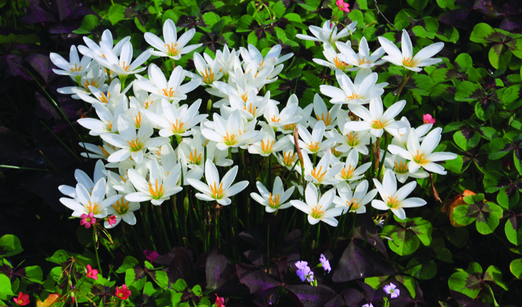 Zephyranthes candida will actually rebloom all summer, triggered by ozone in the air caused by thuderstorms. It's one of Brent Heath's recomendations for spring planting, he's owner of Brent and Becky's bulb along with his wife Becky. Planting summer bulbs can be done right now.