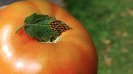 Tomato with bugs