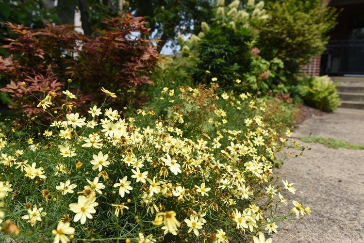 Coreopsis is one of the pollinator plants in John Staudacher's garden. He is a lifelong gardener who was diagnosed with Parkinson's disease, but he's determined to keep his amazing city garden going strong. He lives in Regent Square a neighborhood of Pittsburgh, Pa.