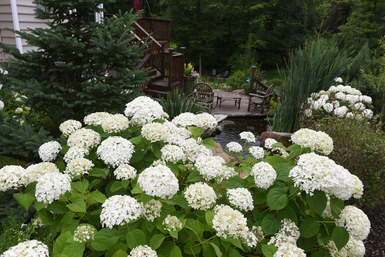 Scott and Catie Walsh of Sewickley Hills have a wonderful water garden that's part of the Wexford Pond Tour. These 'Annabelle' hydrangeas are reliable bloomers that put on a show in the summer. The water garden is like a retreat for the young family.