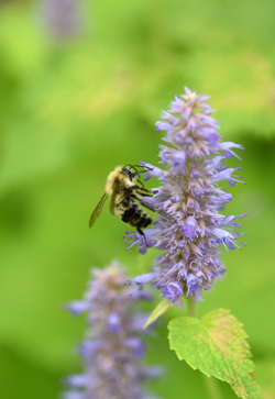 Scott and Catie Walsh of Sewickley Hills have a wonderful water garden that's part of the Wexford Pond Tour. 'Golden Jubilee' agastashe is covered with bumblebees, its a great, fragrant pollinator plant.The water garden is like a retreat for the young family.