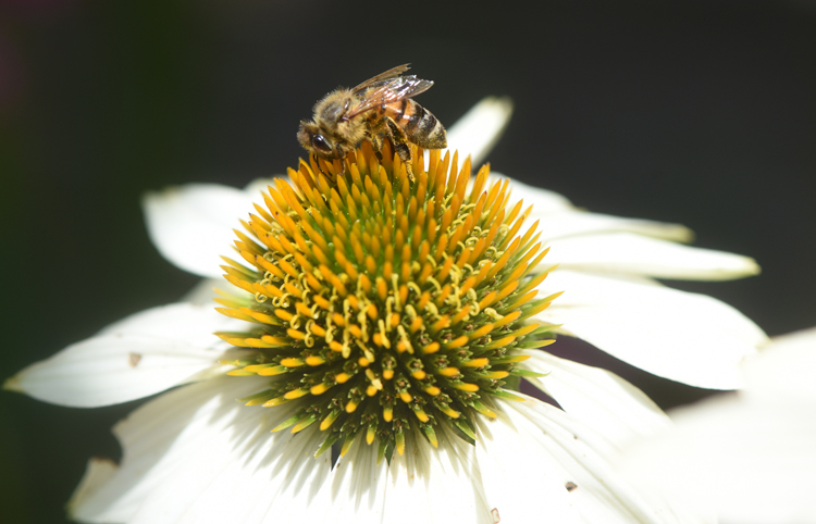 A honeybee visits a white coneflower in the Story Garden at Mount Pleasant Library.