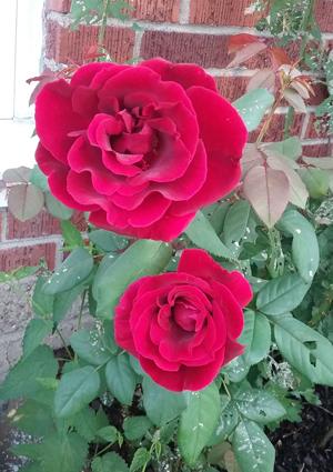 'Crimson Velvet' is Marsha Kennedy's grandmother's rose.