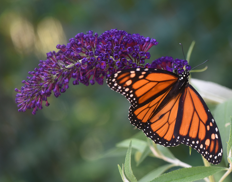 This monarch butterfly enjoys the flowers of a butterfly bush.