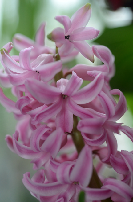 There's nothing like the fragrance of hyacinths.