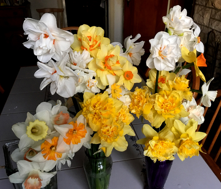 Daffodils are the harbinger of spring. There are 13 different divisions of the flowers, each one has a different type of bloom. They are deer proof and easy to grow.