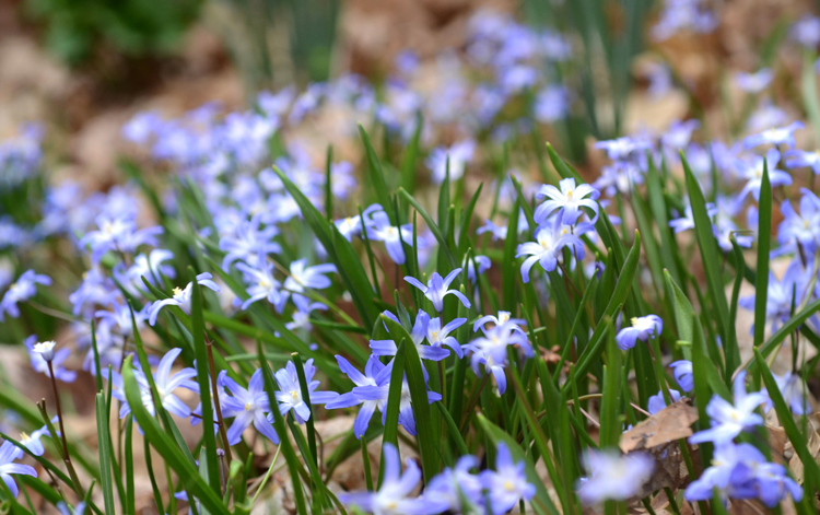 Chionodoxa or Glory of Snow have pretty blue flowers in the early spring and will form a colony in just a few years.