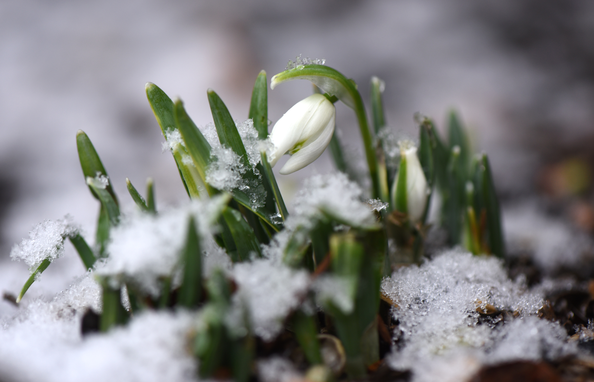 Snowdrops are one of the first flowers to bloom in the late winter.