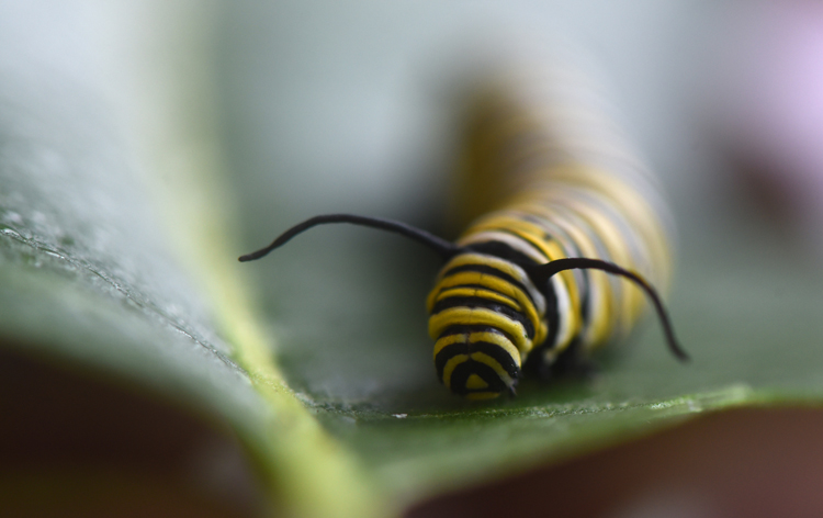 Karrie Klug of Slickville, Pa in Westmoreland County has been raising monarch butterflies from eggs and caterpillars in an effort to help the species. She hopes to release around 200 by the end of the season. This caterpillar has fed on milkweed and will soon make the transformation to a butterfly.