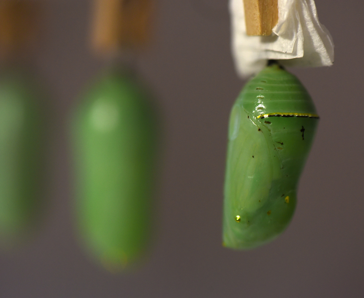Karrie Klug of Slickville, Pa in Westmoreland County has been raising monarch butterflies from eggs and caterpillars in an effort to help the species. She hopes to release around 200 by the end of the season. This is one of the chrysalis that will become a butterfly.
