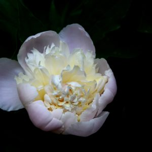 Peonies are a deer resistant and beautiful perennial, many have a wonderful sweet fragrance.