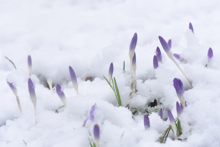 Snow crocus blooms are always a surprise when they emerge. Photos by Doug Oster