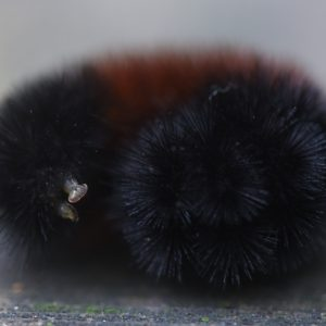 Wooly bear caterpillars are said to predict the severity of winter. Photo by Doug Oster