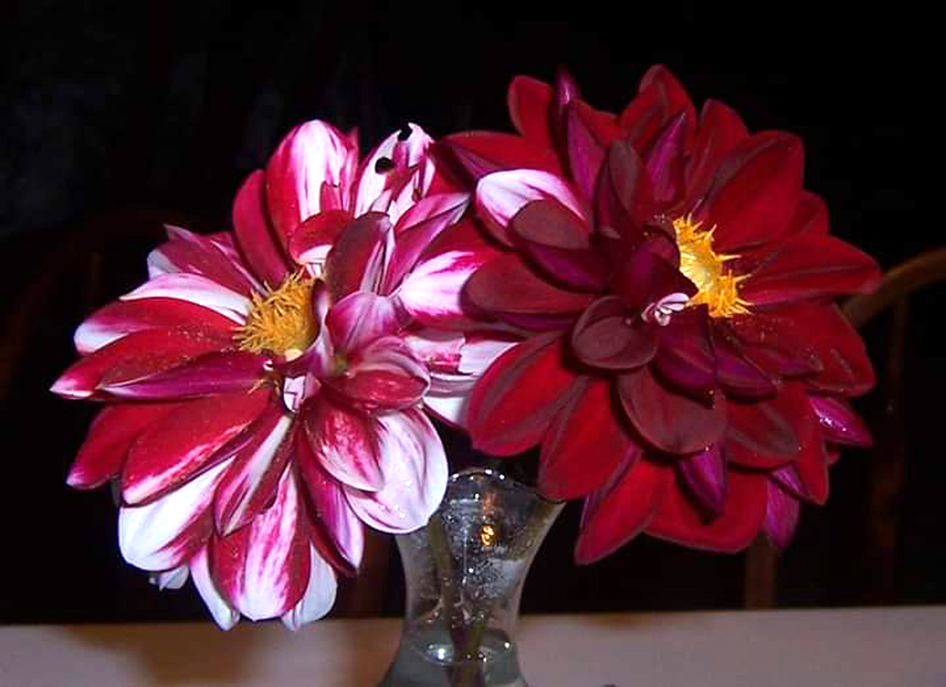 The dahlia on the left was grown by Wanda Gerber's great grandmother, Mary Beatty.