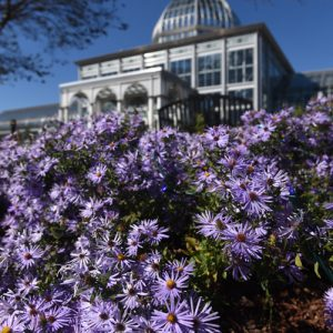 These asters are blooming in front of the conservatory at Lewis Ginter Bontanica Garden in Richmond, Va.