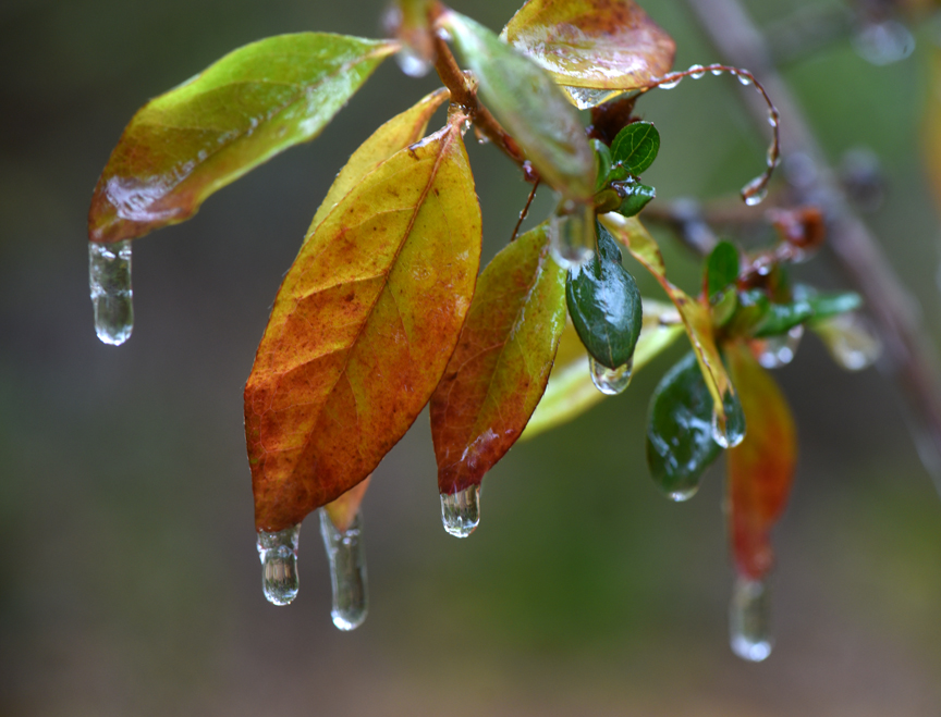 Azalea leaves which are still in fall color are covered in freezing rain.