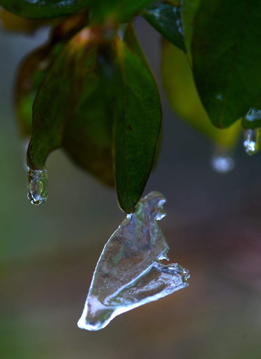 This azalea had a thin layer of ice form on a leaf. As things warmed up the ice slid off the leaf, but then froze on the tip of the leaf. Photos by Doug Oster