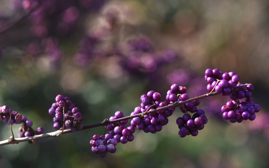 Beautyberry is a plant with great winter interest. It also is one of the university colors at Chatham University. The campus is also an arboretum.