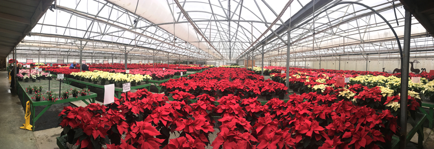 The poinsettias put on quite a show when walking into the greenhouses at Janoski's Farm and Greenhouse in Clinton, Pa.
