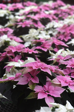 The 'Princettia' series of poinsettias come in pink and pure white. These are on display at Janoski's Farm and Greenhouse. It's a variety known for lasting a long time indoors.