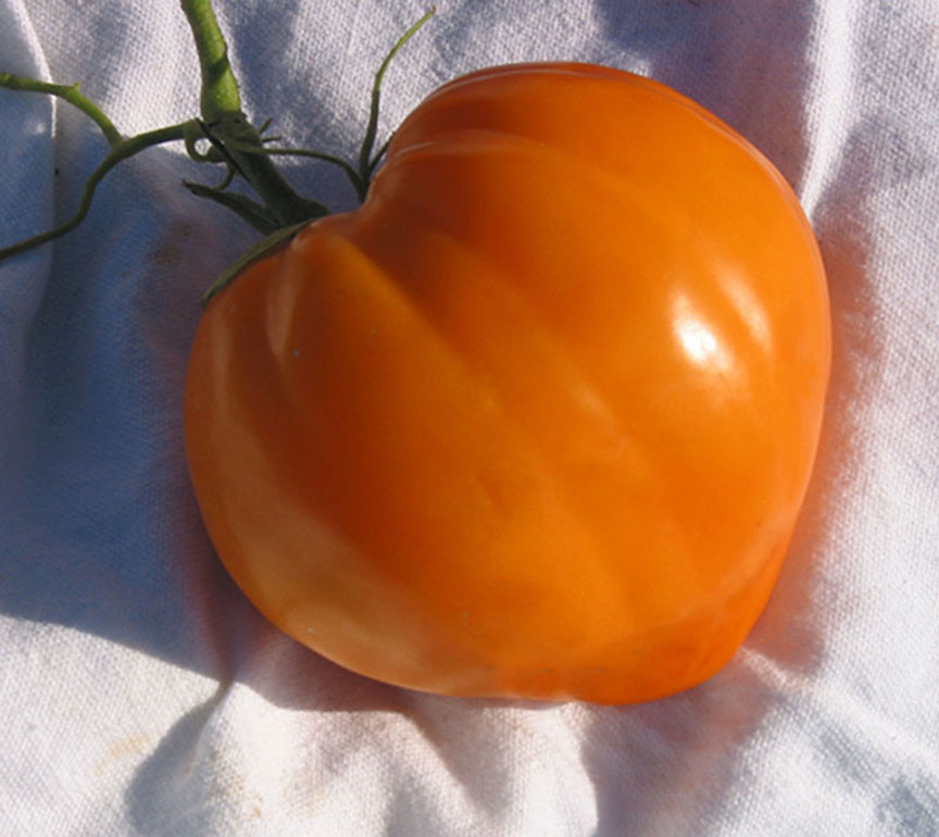 Dagma Lacey and Gary Ibsen run TomatoFest, a company that offers 650 different heirloom tomatoes to gardeners. Most of the seeds they grow are donated to schools and others who need help. This is 'Homer Fike's Yellow Oxheart' tomato.