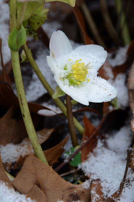 Helleborus niger doesn't let cold or snow stop it from blooming. During the thaw the flowers will stand erect to lure in the bees.
