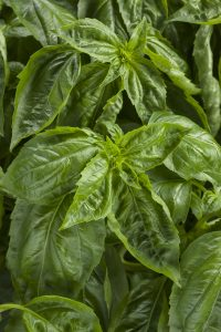 'Amazel' basil from Proven Winners is the first variety that's resistant to basil downy mildew.
