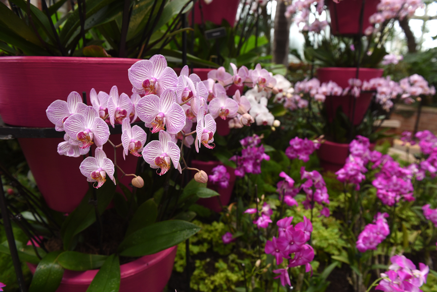 These striped orchids welcome visitors to the Palm Court at Phipps Conservatory and Botanical Gardens. Photos by Doug Oster