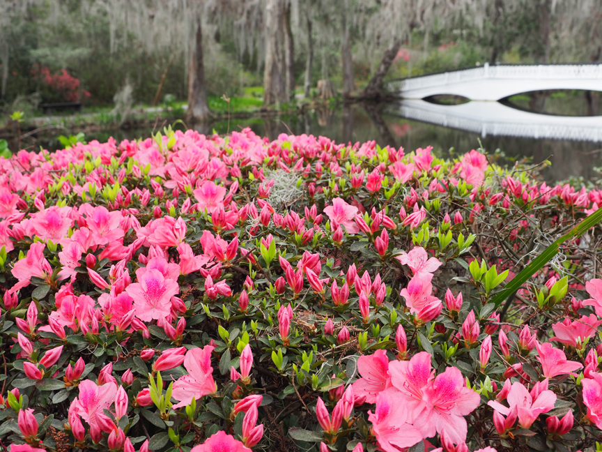 Magnolia Plantation and Gardens in Charleston, SC., is the oldest public garden in the country, opening its doors in 1870. The garden is filled with azaleas, these are blooming in front of the famed White Bridge built in 1840.