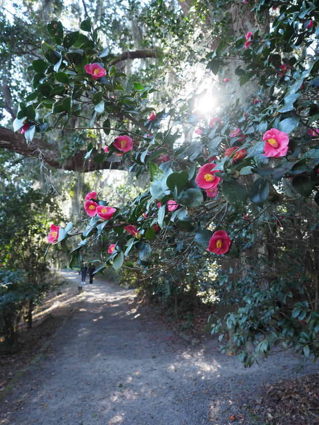 Magnolia Plantation and Gardens in Charleston, SC., is the oldest public garden in the country, opening its doors in 1870. One of the highlights of the garden is the historic camelia collection. It's a plant that is hardy in the south, but hard to grow in the north.