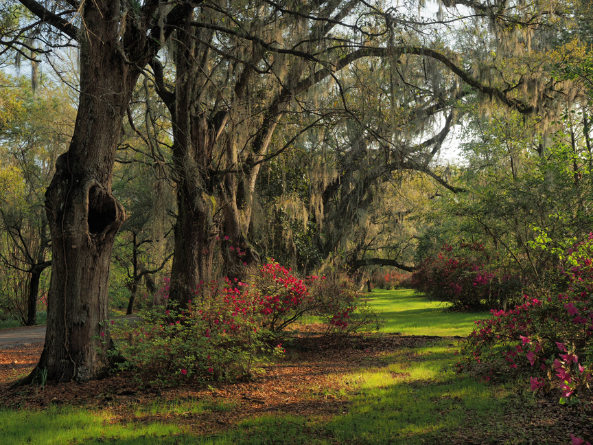 Magnolia Plantation and Gardens in Charleston, SC., is the oldest public garden in the country, opening its doors in 1870. One of the things that makes this garden special is the maturity of the bones in the landscape. Full grown specimens have been growing here for centuries.