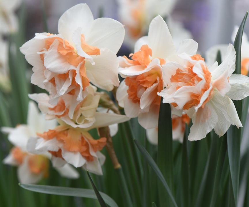 These beautiful daffodils are part of the Spring Flower Show at Phipps.