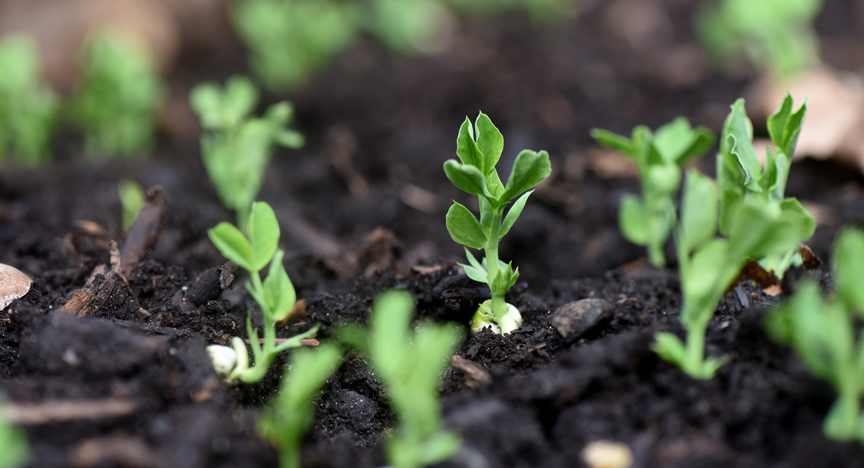 These 'Oregon Sugar Pod II' peas have sprouted and will be ready to pick in late May or early June.