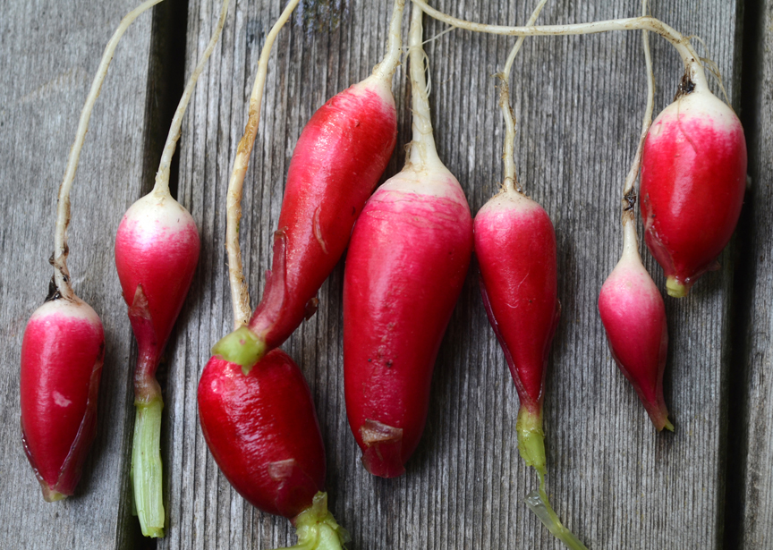 'Ostergruss' which is German for Easter greeting is just one of the many varieties of radishes available for gardeners. They are one of the first crops to be sown in the garden.