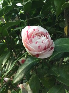 southern flower camelia