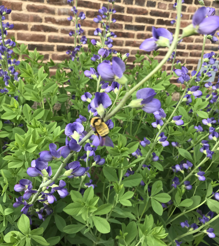 This baptisia plant gets a visit from a bumblebee at the Loyalhanna Watershed Association in Ligonier. It's one of the stops on the Pollinator Palooza Garden Rally.