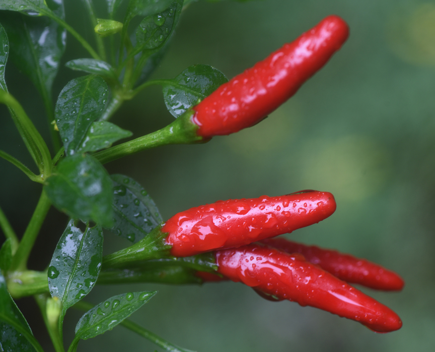 'Super Chili' peppers are a 1988 All America Selection. These peppers are easy to grow and are hot enough to wake you up, but not crazy heat.