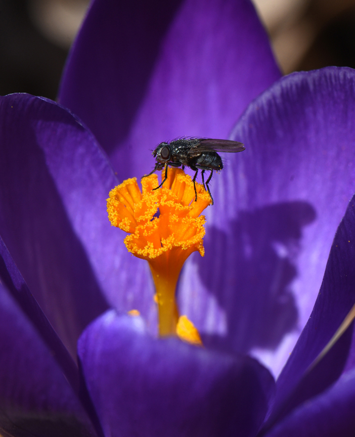 Crocus flowers provide great blooms for pollinatores. Pollinator Week is a great way for gardeners to remember the importance of helping the good bugs in the garden
