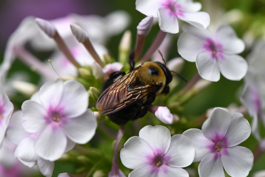 Phlox is a great plant for pollinatores. Pollinator Week is a great way for gardeners to remember the importance of helping the good bugs in the garden
