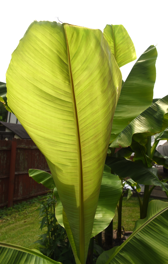 Damian and Gloria Ondo of Monroeville grow hardy bananas in their garden. The plants have large leaves with wonderful texture.