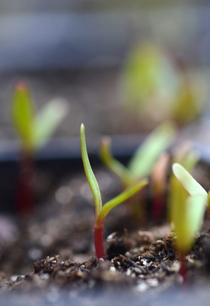 Beet seedlings need thinned to get the best sized roots. They can be started now and harvested in the fall and through winter.