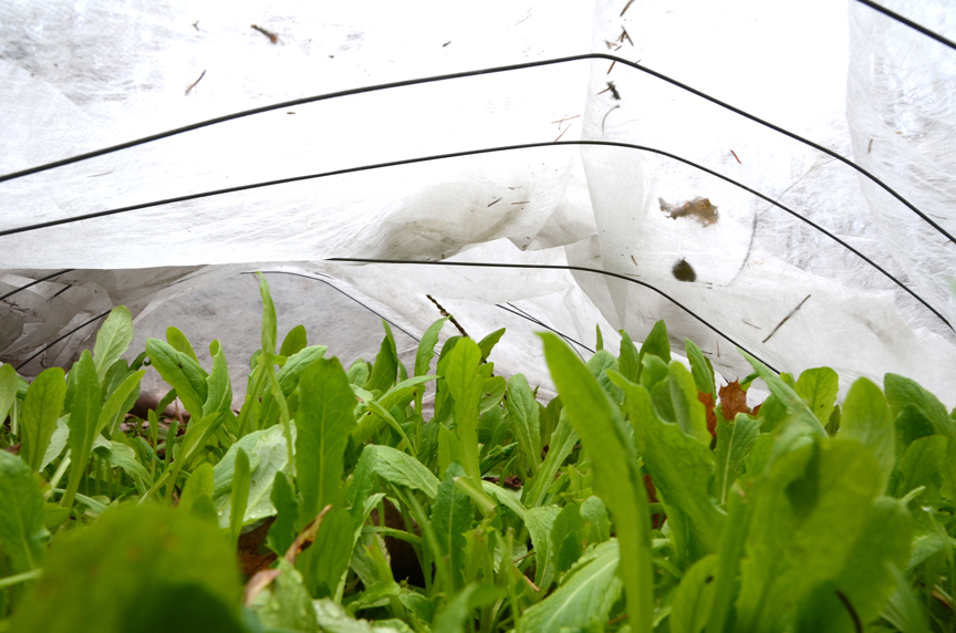 This lettuce is protected by a floating row cover which acts as a greenhouse.