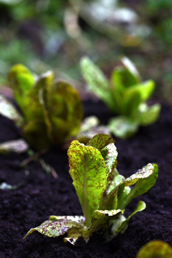 'Freckles' lettuce is just one of the many cultivars that should be sowed through the season to harvest for months to come.
