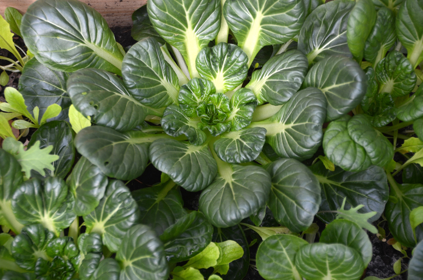Tatsoi is a great unusual fall and winter crop that can be started from seed now.