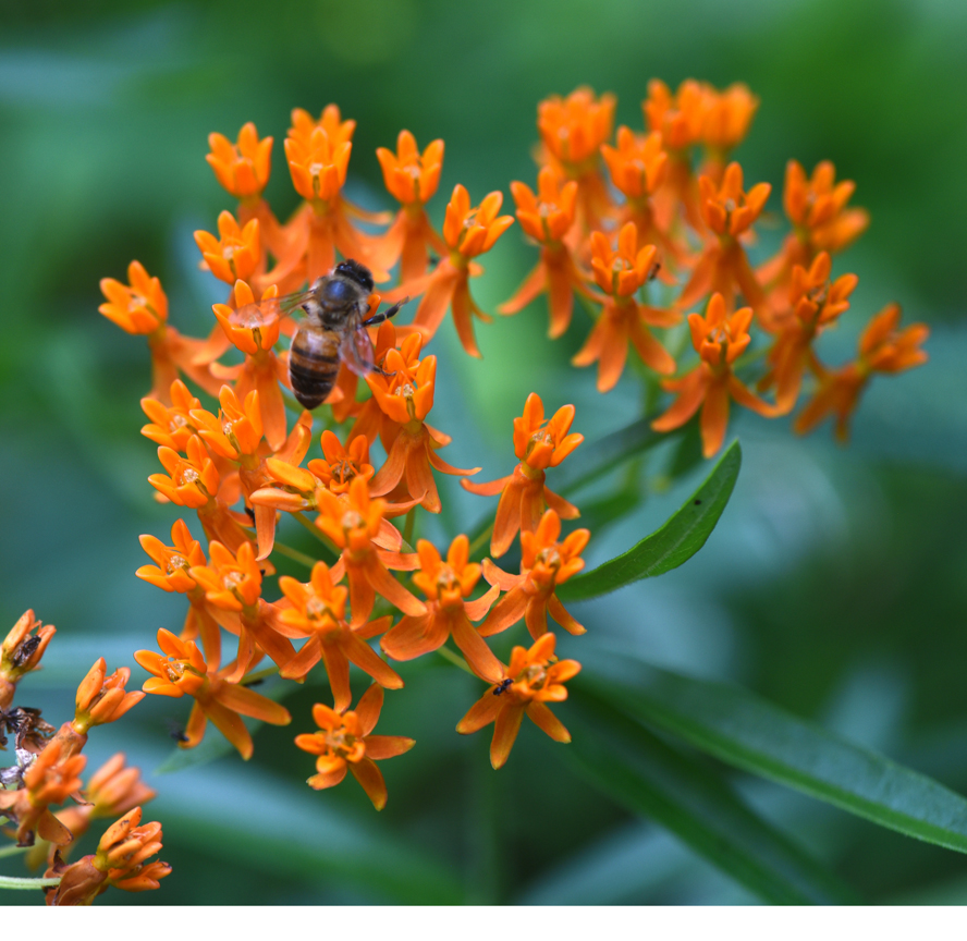 Butterfly weed is a type of milkweed that's easy to grow and good for pollinators.