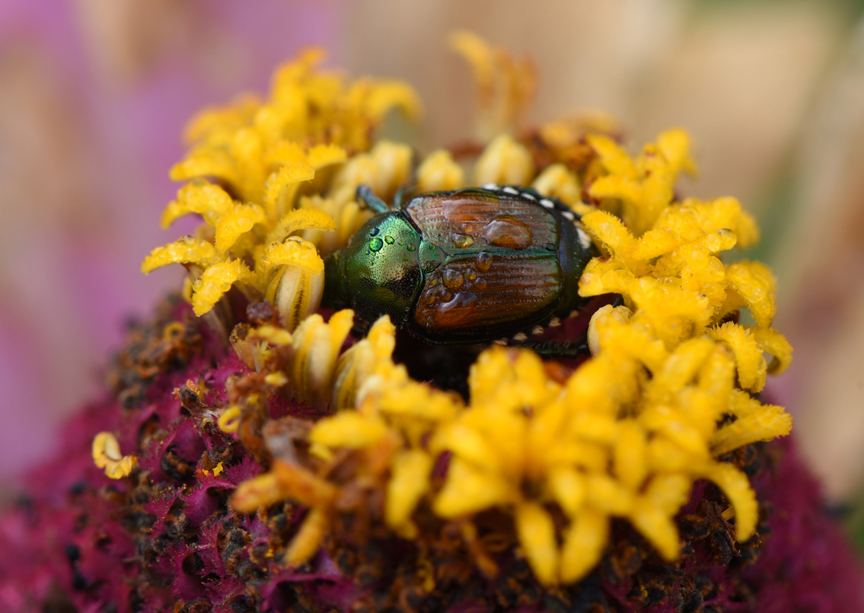 Japanese beetles can be controlled with a variety of organic products.